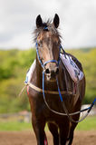 Racing horse portrait close up Stock Photography