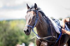 Racing horse portrait close up Royalty Free Stock Photos
