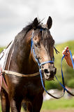 Racing horse portrait close up Royalty Free Stock Photo