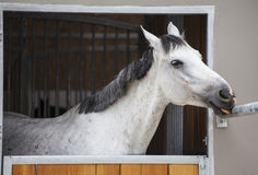 Racing horse in the stable Royalty Free Stock Images