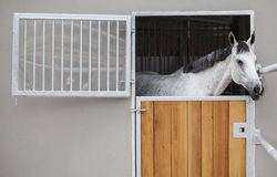Racing horse in the stable Stock Image