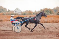 Racing for the horses trotting breeds Royalty Free Stock Images