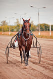 Racing for the horses trotting breeds Royalty Free Stock Photography