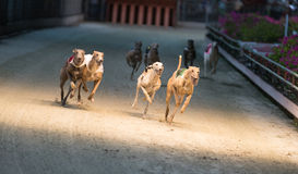Racing hounds Stock Photo