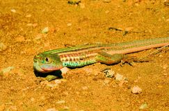 Racing lizard. With stripes scurrying for shelter among the rocks and vegetation royalty free stock images