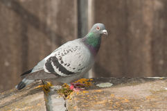 Racing Pigeon Stock Photo