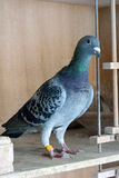 Racing pigeon Stock Images