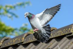 Landing of racing pigeon with wigs spread wide stock images