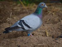 Racing pigeon Stock Photography