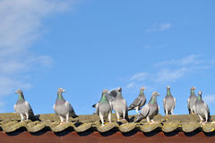 Racing pigeons on the roof stock photo