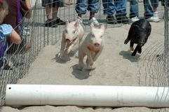 Racing Pigs. Pigs at county fair  competing in a pig race Stock Images