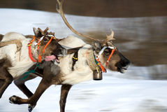 Racing of raindeers (motion blur) Royalty Free Stock Images