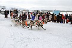 Racing of reindeers Stock Photos