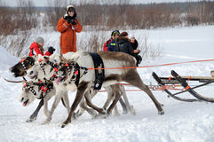 Racing of reindeers Royalty Free Stock Photos