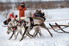 Racing of reindeers royalty free stock photos