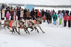 Racing of reindeers Stock Photography