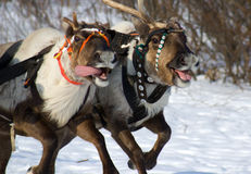 Racing of reindeers. In time of russian north festival royalty free stock photography
