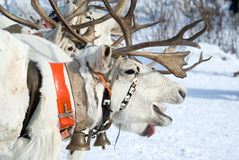 Racing of reindeers Stock Images