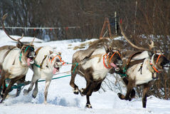 Racing of reindeers Stock Image