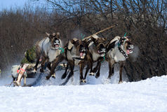 Racing of reindeers Royalty Free Stock Images