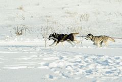 Racing sled dogs. Four sled dogs rush along the snowfield pulling sleds sleds behind the frame Stock Photography