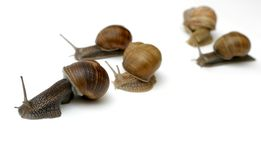 Racing Snails royalty free stock photo