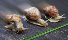 Racing snails. Three scroll bones hurrying to the destination - montage Stock Photography
