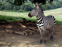 Racing Stripes. A zebra portrait Stock Image