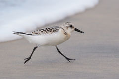 Racing the Surf. Sanderling running on the beach ahead of the surf with both feet off the ground Royalty Free Stock Images