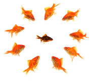 Racism. Black goldfish surrounded by a bully gang isolated on white Royalty Free Stock Image