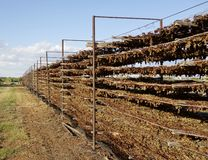 Rack of Drying Grapes. stock photography