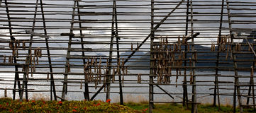 Rack for drying stockfish Stock Images