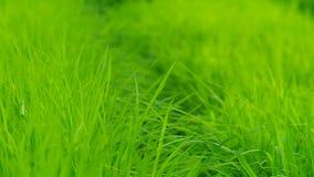 Rack focus footage of rice seedling stock video
