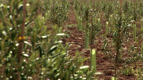 Rack focus from olive branches to infant trees on olive field stock video footage