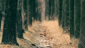 Rack focus through the trees path stock footage