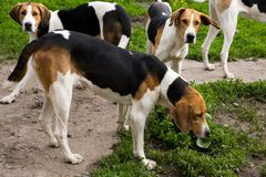 Rack of hounds of dogs Stock Photos