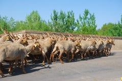 Racka绵羊成群, Hortobagy国家公园,匈牙利 免版税库存照片