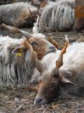 Racka får som tillsammans vilar Royaltyfri Foto