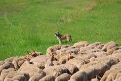 Racka fårflock, Hortobagy nationalpark, Ungern Royaltyfri Fotografi
