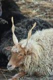 Racka-Schafe Lizenzfreie Stockfotos