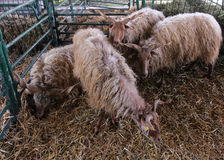 Racka sheep Stock Images