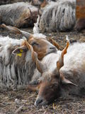 Racka sheep resting together. A small flock of these rare and unique sheep were having a rest after feeding. Racka sheep are best known for their spiral-shaped Royalty Free Stock Photo