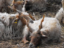 Racka sheep resting together Royalty Free Stock Photos