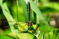 Racket-tailed Emerald Dragonfly - Dorocordulia libera Royalty Free Stock Photography