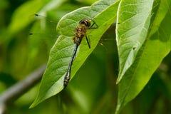 Racket-tailed Emerald Dragonfly - Dorocordulia libera. Male Racket-tailed Emerald Dragonfly perched on a leaf. Kirkfield Lift Lock, Kawartha Lakes, Ontario Royalty Free Stock Photos