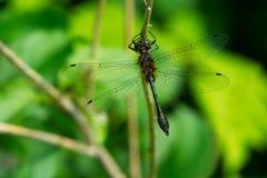 Racket-tailed Emerald Dragonfly - Dorocordulia libera. Male Racket-tailed Emerald Dragonfly perched on a leaf. Kirkfield Lift Lock, Kawartha Lakes, Ontario Royalty Free Stock Photo