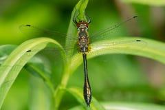 Racket-tailed Emerald Dragonfly - Dorocordulia libera. Female Racket-tailed Emerald Dragonfly perched on a leaf. Carden Alvar Provincial Park, Kawartha Lakes royalty free stock image