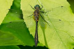 Racket-tailed Emerald Dragonfly - Dorocordulia libera. Female Racket-tailed Emerald Dragonfly perched on a leaf. Carden Alvar Provincial Park, Kawartha Lakes royalty free stock photos