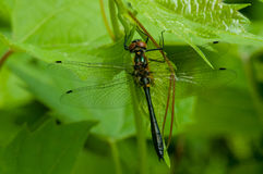 Racket-tailed Emerald. Perched on leaves of a bush royalty free stock photography