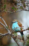 Racket-Tailed Roller Stock Image